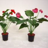Anthurium Bush